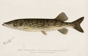 Art Prints of Pickerel from the Upper Hudson River by Sherman Foote Denton