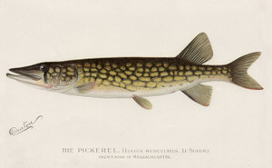 Art Prints of Pickerel from a Pond in Massachusetts by Sherman Foote Denton