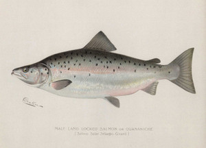 Art Prints of Landlocked Salmon, Male by Sherman Foote Denton