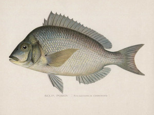 Art Prints of Scup or Porgy by Sherman Foote Denton