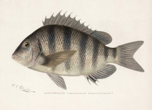 Art Prints of Sheepshead by Sherman Foote Denton
