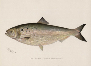Art Prints of Shad by Sherman Foote Denton