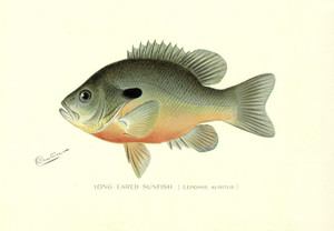 Art Prints of Long Eared Sunfish by Sherman Foote Denton