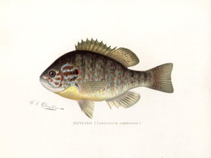 Art Prints of Sunfish by Sherman Foote Denton