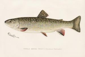 Art Prints of Brook Trout, Female by Sherman Foote Denton