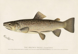 Art Prints of Brown Trout by Sherman Foote Denton