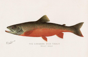 Art Prints of Canadian Red Trout, Male by Sherman Foote Denton