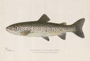 Art Prints of Steelhead or Salmon Trout II by Sherman Foote Denton