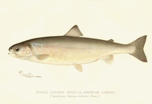 Art Prints of Sunapee Trout, Female by Sherman Foote Denton