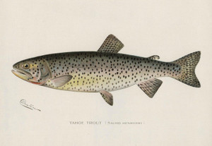 Art Prints of Tahoe Trout by Sherman Foote Denton