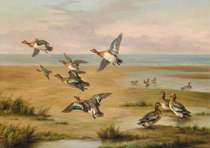 Art Prints of Wild Ducks by Edgar Hunt