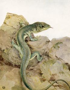 Art Prints of Lizards by Edward Julius Detmold