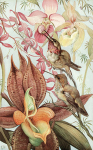 Art Prints of Hummingbirds by Edward Julius Detmold