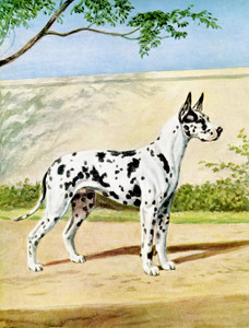 Art Prints of Black Dappled Harlequin Great Dane by Edwin Megargee