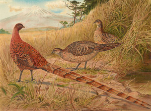 Art Prints of Soemmerring's Copper Pheasant by Edwin Megargee