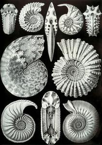 Art Prints of Ammonitida, Plate 44 by Ernest Haeckel