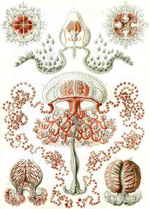 Art Prints of Anthomedusae, Plate 46 by Ernest Haeckel
