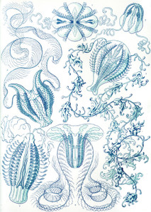 Art Prints of Ctenophorae, Plate 27 by Ernest Haeckel