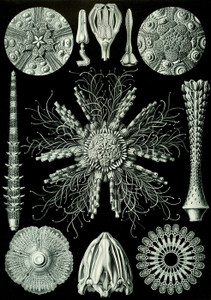 Art Prints of Echinidea, Plate 60 by Ernest Haeckel