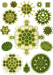 Art Prints of Melethallia, Plate 34 by Ernest Haeckel