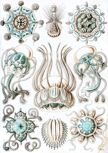 Art Prints of Narcomedusae, Plate 16 by Ernest Haeckel
