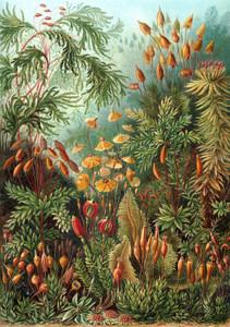 Art Prints of Muscinae, Plate 72 by Ernest Haeckel