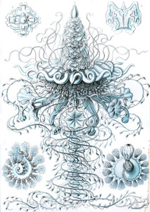 Art Prints of Siphonophorae, Plate 37 by Ernest Haeckel