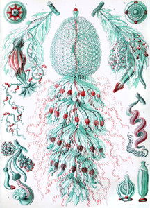 Art Prints of Siphonophorae, Plate 59 by Ernest Haeckel