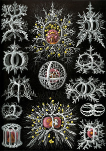 Art Prints of Stephoidea, Plate 71 by Ernest Haeckel