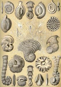 Art Prints of Thalamophora, Plate 12 by Ernest Haeckel
