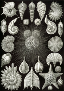 Art Prints of Thalamphora, Plate 2 by Ernest Haeckel