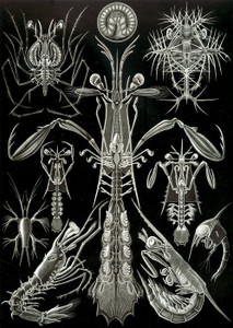 Art Prints of Thoracostraca or Crustaceans, Plate 76 by Ernest Haeckel
