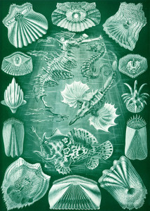 Art Prints of Teleostei, Plate 87 by Ernest Haeckel