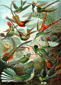 Art Prints of Trochilidae or Hummingbird, Plate 99 by Ernest Haeckel