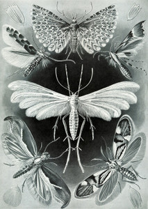 Art Prints of Tineida or Moth, Plate 58 by Ernest Haeckel