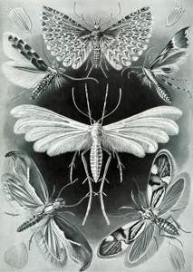 Art Prints of Tineida or Moth, Plate 58 by Ernest Haeckel