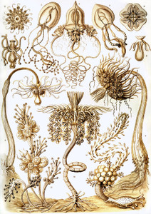 Art Prints of Tubulariae, Plate 6 by Ernest Haeckel