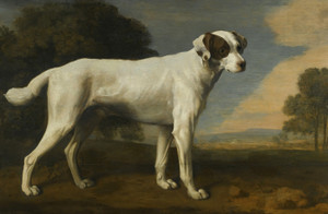 Art Prints of Viscount Gormanston's White Dog by George Stubbs