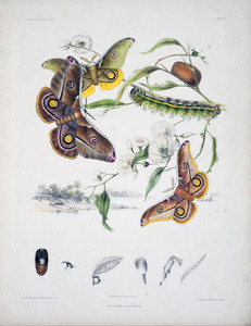 Art Prints of Plate 1 of Australian Lepidoptera and Transformations by Helena Scott