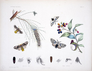 Art Prints of Plate 5 of Australian Lepidoptera and Transformations by Helena Scott