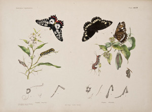Art Prints of Plate 16 of Australian Lepidoptera and Transformations by Helena Scott