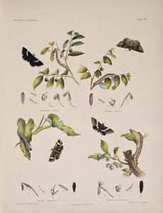 Art Prints of Plate 18 of Australian Lepidoptera and Transformations by Helena Scott