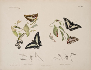 Art Prints of Plate 17 of Australian Lepidoptera and Transformations by Helena Scott