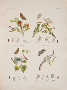 Art Prints of Plate 21 of Australian Lepidoptera and Transformations by Helena Scott