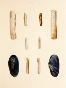 Art Prints of Shells, Plate 4 by Jean-Baptiste Lamarck