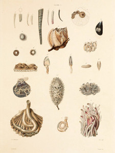 Art Prints of Shells, Plate 3 by Jean-Baptiste Lamarck