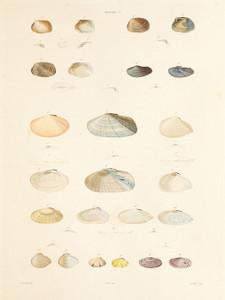 Art Prints of Shells, Plate 7 by Jean-Baptiste Lamarck
