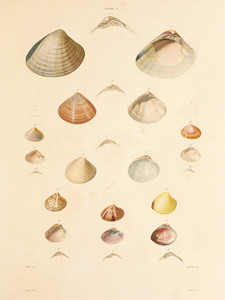Art Prints of Shells, Plate 10 by Jean-Baptiste Lamarck