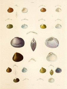 Art Prints of Shells, Plate 9 by Jean-Baptiste Lamarck