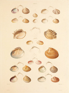 Art Prints of Shells, Plate 12 by Jean-Baptiste Lamarck